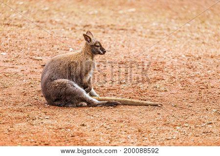Kangaroo sitting on red ground. Wild anima. Side view, funny