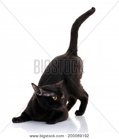 black cat with bright yellow eyes and an open mouth on a white background sat in the front paws. preparing to attack. predator style
