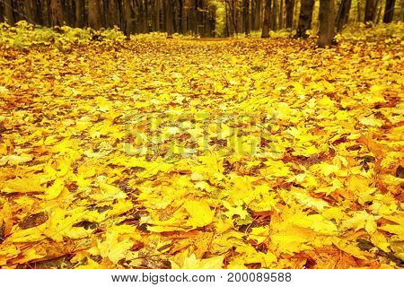 Lots of leaves lie on the ground in autumn. Autumn wallpaper