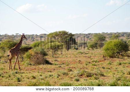 several giraffes walking through the savanna of Tsavo West Park in Kenya