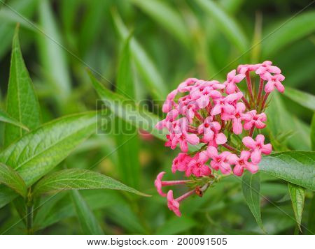 beautiful pink lxora flower with blur green background.