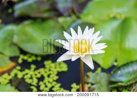 White Yellow water lily flower and plants in the Lotus bowl