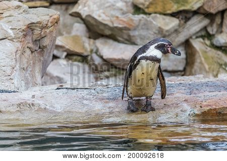 Penguin standing near water on stone. Animal
