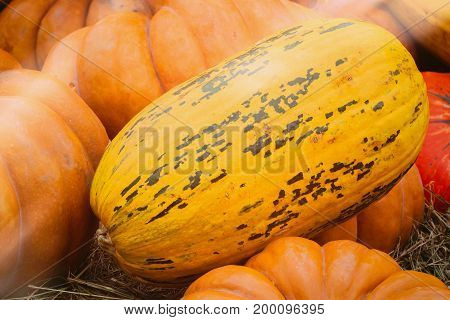 Close-up Ripe long yellow organic pumpkin, vintage colours. Rustic fall background