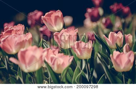 a lot of light pink tulips growing in the garden in sunlight, processed with a preset, green leaves of plants, blurry, background,