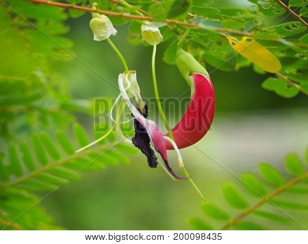 Focus the beautiful of red sesban flower.