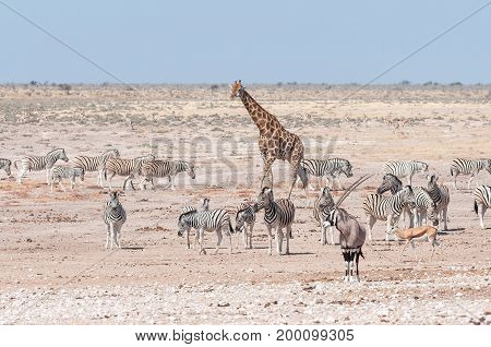 A giraffe oryx springbok and Burchells zebras at a waterhole in Northern Namibia