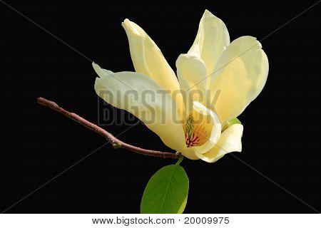 Virginiana Magnolia
