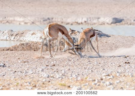 Two springbok rams (Antidorcas marsupialis) fighting at a waterhole in Northern Namibia