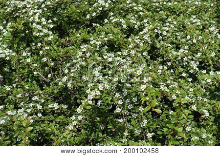 Shoots of Cotoneaster horizontalis bearing small white flowers