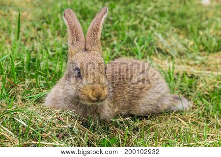 young gray rabbit on green grass in spring