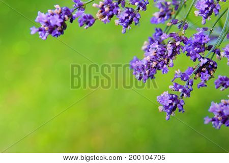 Bunch of lavender flowers on blur green background.
