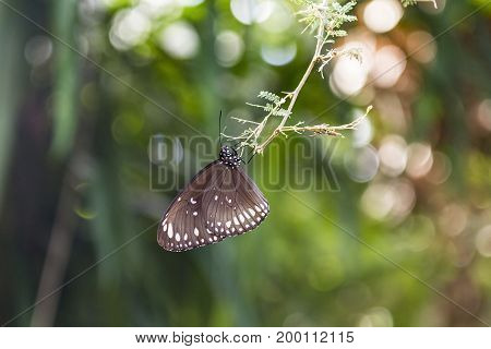 Spotted Black Crow Butterfly (Euploea crameri) dangles from a branch on a sunny day.