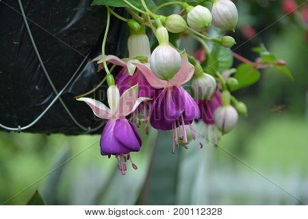 Flor que cae de maseta colgante, tecpan