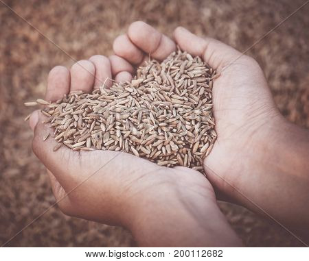 Hand holding golden newly harvested paddy seeds in Indian subcontinent