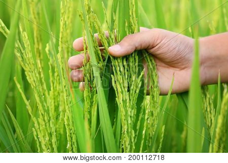Hand holding golden paddy seeds in Indian subcontinent