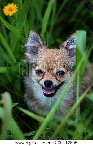 Long hair Chihuahua hides in the green bush