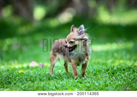 Long hair Chihuahua standing on the green meadow