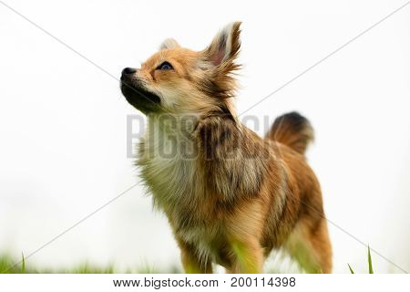 Long hair Chihuahua standing on green lawns with white background