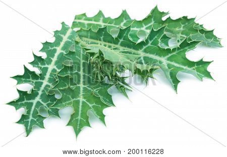 Medicinal Argemone mexicana or Mexican poppy leaves over white background