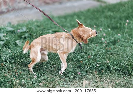Cute Dog Shaking Head Because Of Itch, Animal Hygiene Concept, Happy Brown Dog On A Leash Acting Cra