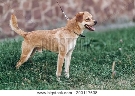 Cute Small Dog On A Walk In A Park, Brown Smiling Dog Breathing Heavily Outdoors In Summer Outdoors,