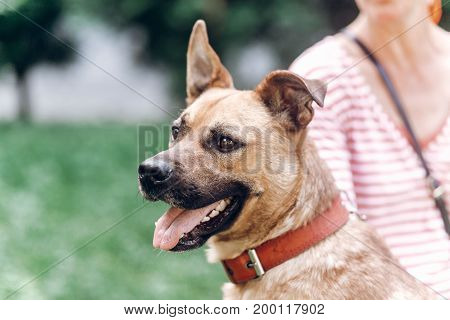 Adorable Smiling Dog With Long Ears Looking At Camera Close-up, Cute Brown Dog Portait, Pet Shelter
