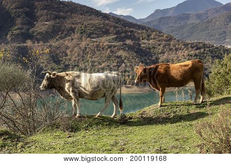 The cows grazing on a mountain meadow near the lake