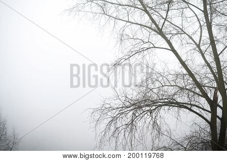 bald trees in winter during intense fog morning