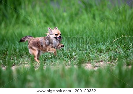 Long hair Chihuahua happily running in the meadow