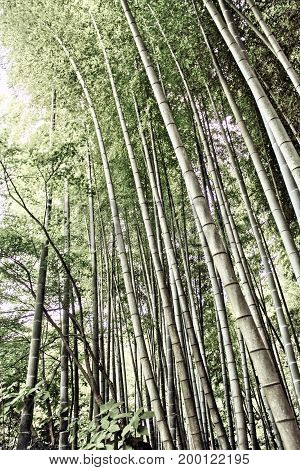 Looking up in a bamboo forest in soft light and muted color.