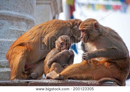 Monkeys at Swayambhunath Temple in Kathmandu Valley. Nepal.