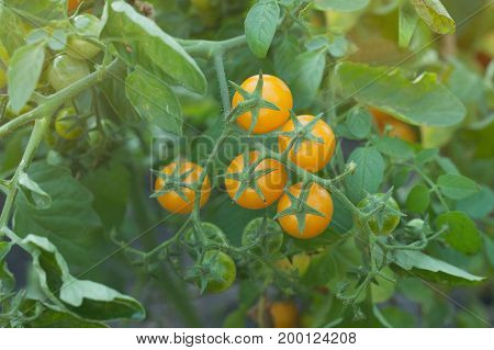 Organic tomatoes ripening in sunlight outdoors in community garden. A bunch of yellow tomatoes