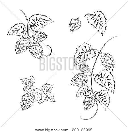 Set: branches of hops with cones and leaves isolated on white background. Brewing. Ingredient.