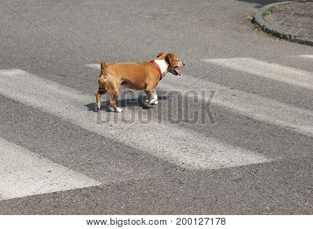 Dog Zebra Crossing With Copy Space