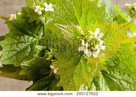 Flowering Garlic Mustard (alliaria Petiolata) - Wild Edible Plant