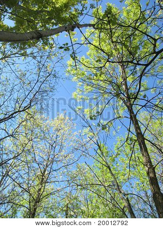 Grove of Trees in spring with bright blue sky