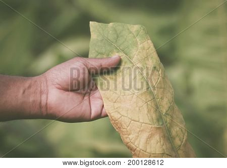 Hand holding green tobacco leaf in garden