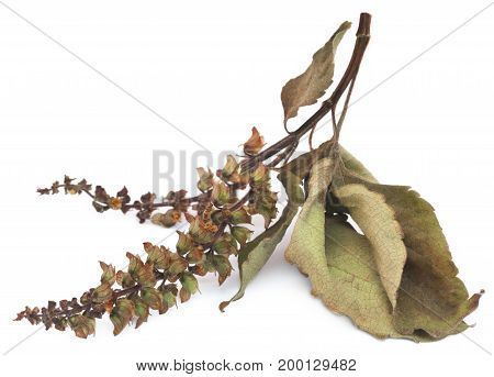 Dry holy basil or tulsi leaves with flowers over white background