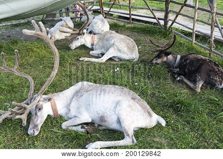 White Reindeer Lying On The Grass.