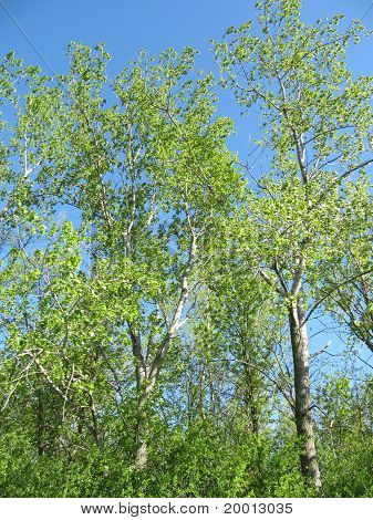 Grove of Trees showing nice green colors of spring against a bright blue sky