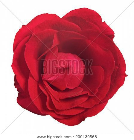 beautiful red color rose isolated on white background