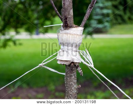 Garter a young tree with twine to protect against uprooting
