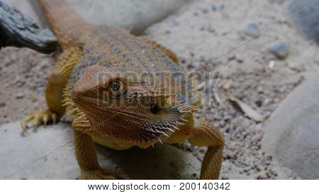 Spiny lizard crawling on a rock in the desert