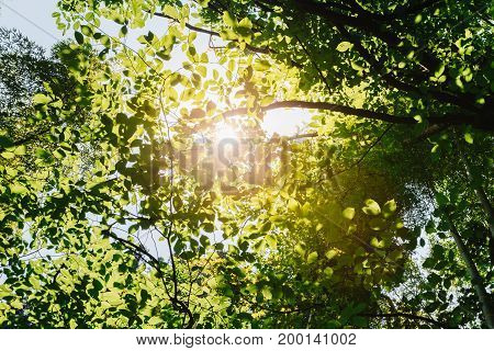 Sun Shining Through Canopy Of Tall Trees. Sunlight In Tropical Forest, Summer Nature. Upper Branches Of Different Deciduous Trees Summer Background
