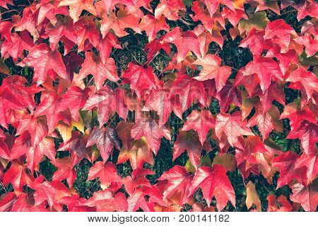 Autumn red leaves on the fence background. High resolution