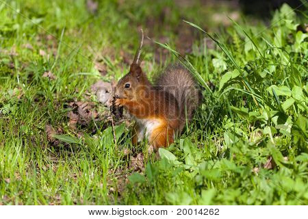 The Squirrel In A Spring Grass