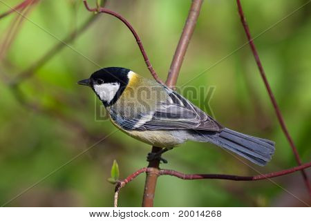 The Titmouse
