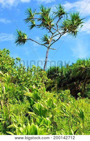 Lush green field surrounding a Hala Plant taken at a tropical landscape in Kauai, HI