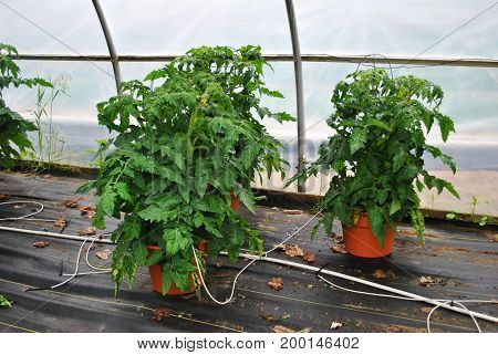Spring Tomato Plants Growing in a Greenhouse